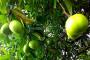 Surabaya Dihijaukan Dengan Pohon Beracun