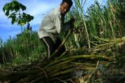 Tiga Menteri Bahas Nasib Petani Tebu Jawa Timur