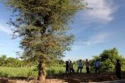 Pemerhati Sesalkan Penebangan Pohon Asem