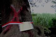 24 Pohon Asem, Diberi Pita Merah Putih