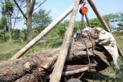 Pohon Asem Wringinanom Dipindahkan Warga