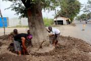 Telapak Jatim Adopsi Pohon Asem Wringinamom