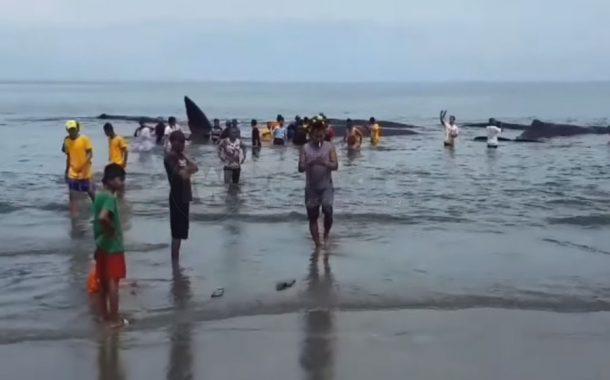 5 Paus Terdampar Ditarik Ke Laut