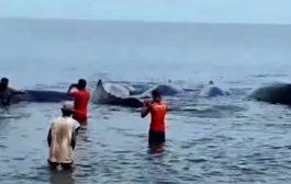 Warga Aceh Tonton Paus Terdampar