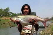 Jutaan Ikan Kali Surabaya Mati, Tercemar Limbah